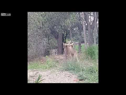 How to Stop Kangaroos Fighting  Just Another Day In Australia