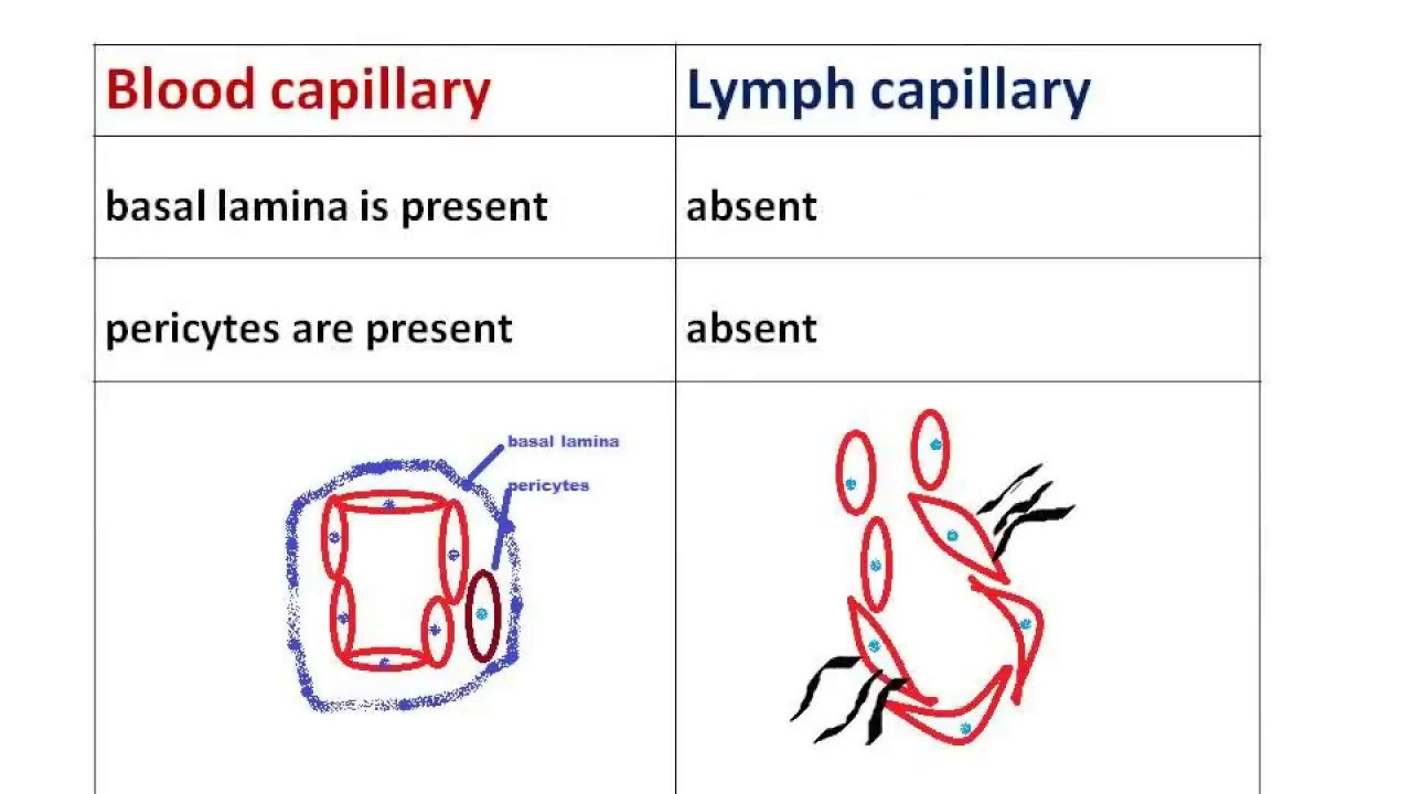 Difference Between Blood Capillary And Lymph Capillary Youtube