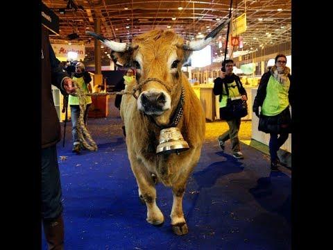 """""""Haute"""", la vache égérie du salon de l'agriculture"""