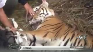 เรื่องเล่าเช้านี้ ล้อมจับเสือโคร่งถูกนายพรานล่าจนถูกยิงเจ็บ ก่อนหนีมาโผล่ในหมู่บ้านที่ลำปาง