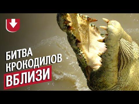Молодой крокодил напал на старого крокодила в Австралии