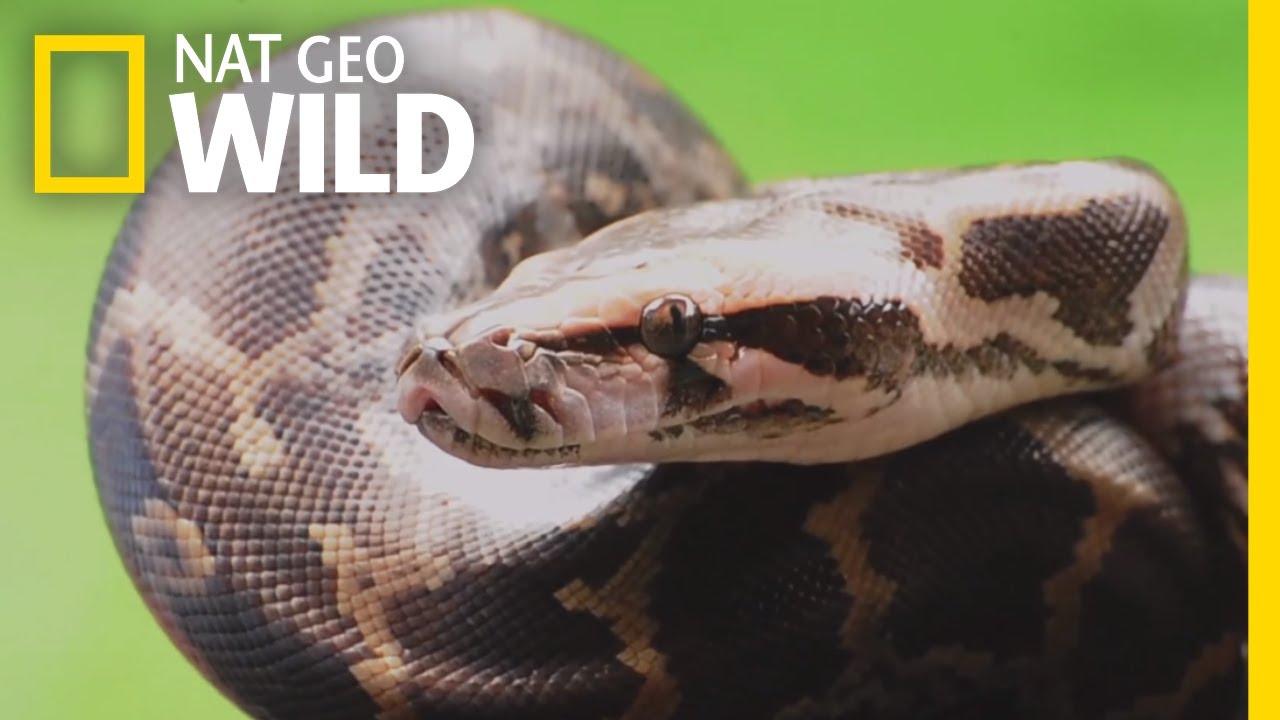 download boa vs python subtitle indonesia