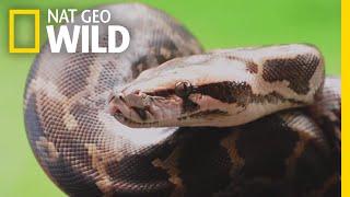 Pythons 101 | Nat Geo Wild
