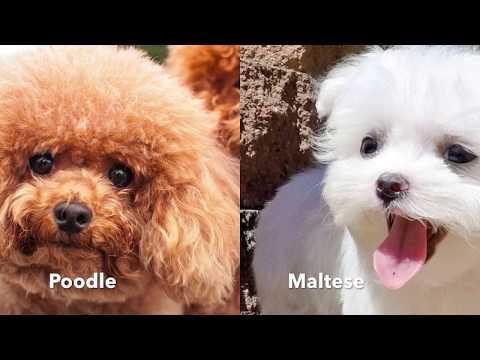 Maltipoo designer dog breed