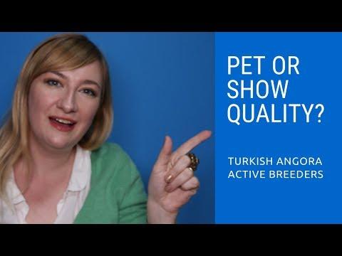 Pet or Show Quality Turkish Angora Kitten?