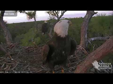 AEF NEFL Eagle Cam 1-13-19: Samson, Female Friend, and Visiting Sub-adult