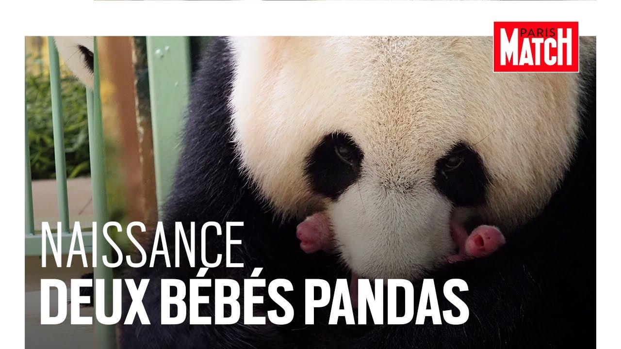 À Beauval, le miracle des bébés pandas jumeaux