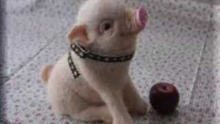 Mini Piggy Pet Compilation, Mini Pig World