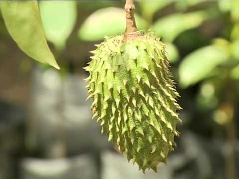 Durian Belanda ANNONA HERBS