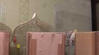 Попугай Нимфа - Корелла, начало разведения 2