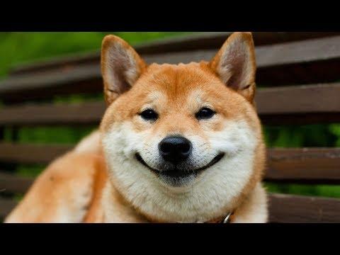 5 причин, почему сиба ину лучшая собака в мире