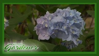 Hydrangea Trail | Volunteer Gardener