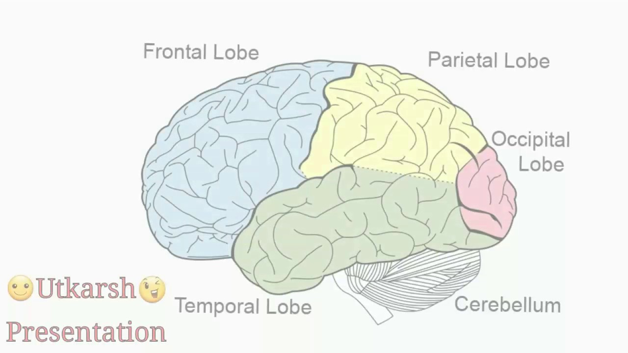 Study Of Classification And Function Of Human Brain Youtube