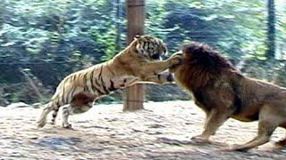 Aslan Vs Kaplan  Müthiş Mücadele . Ormanların gerçek kralı kim ? 4