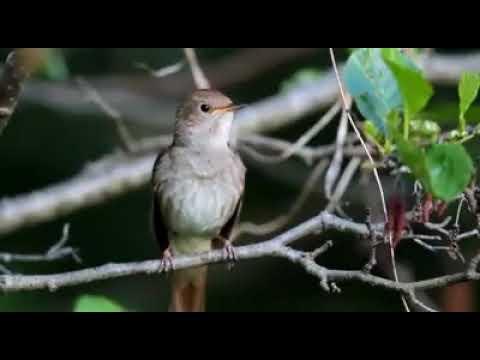 Download Lagu Burung Ciblek Gacor gak henti - henti