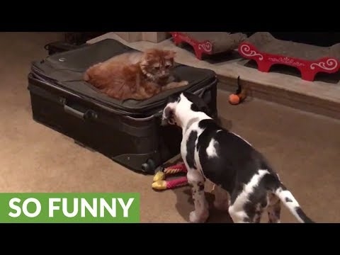 Great Dane puppy pesters cat to play