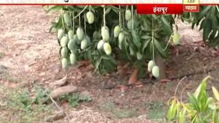 712 इंदापूर: नैसर्गिक पिकवलेला आंबा, दत्तात्र जाधव यांची माळरानावर फुलवलेली बाग