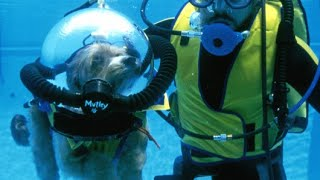 Dog goes Scuba Diving in $1,000 Suit