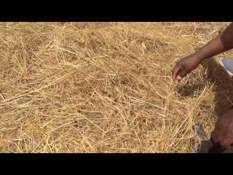 African farmer tobacco seedbeds Agu 2013