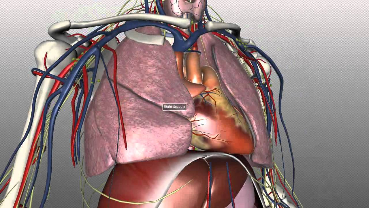 Body Of Sternum Diagram Mediastinum Anatomy Tutorial Youtube