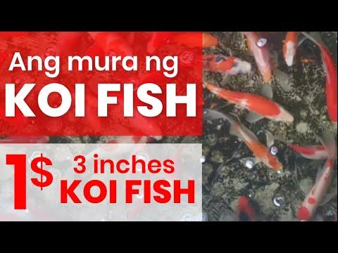 BUYING | KOI FISH @1$ ONLY