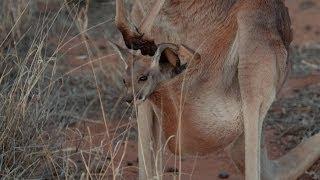 Brolga's Diy Kangaroo Pouch - Kangaroo Dundee: Episode 2 Preview - Bbc Two