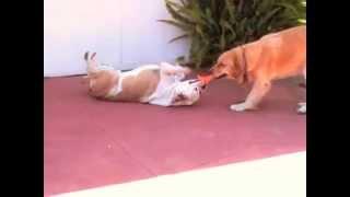 Bulldog Vs Golden Retriever Tug Of War