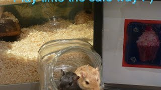 Basic gerbil care an A-Z guide on gerbils!