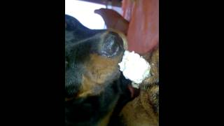 Rottweiler Puppy (angry & Hungry) (age-97days) Dog Name-gunda Owner's Name- Vicky Sarkar