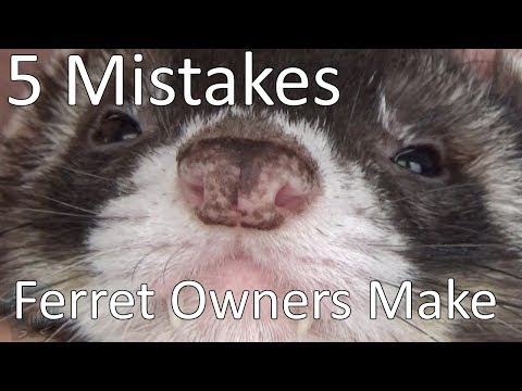 5-mistakes-new-ferret-owners-make