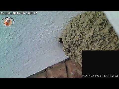 Avión común- House Martin (Delichon urbicum) -ANAPRI-