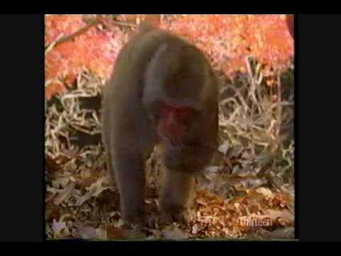 Bonobo chimpanzee homosexuality in christianity