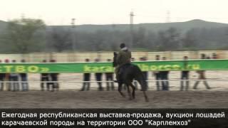 Выставка продажа карачаевской породы лошадей в Карачаево-Черкесии