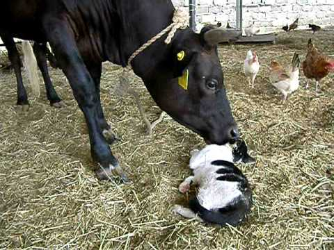 love story of cow and cat