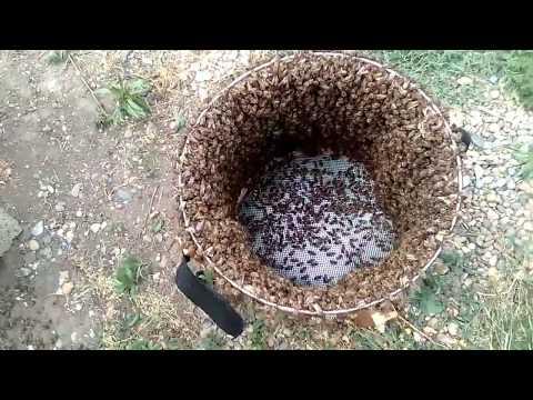 ИСКУССТВЕННОЕ РОЕНИЕ ПЧЕЛ по методу ТАРАНОВА-противороевой прием#Beekeeping