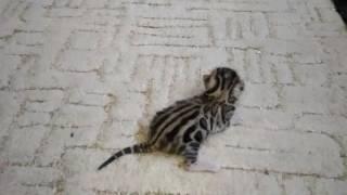 Бенгальский котенок - неделя от роду