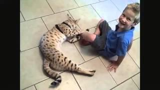 Самая крупная домашняя Кошка Ашера
