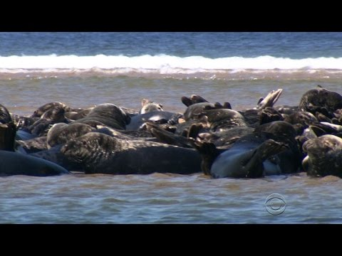Grey Seals Taking A Bite Out Of Cape Cod Fishing Industry