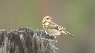 ヨーロッパビンズイ(2)さえずる(モンゴル) - Tree Pipit - Wild Bird - 野鳥 動画図鑑