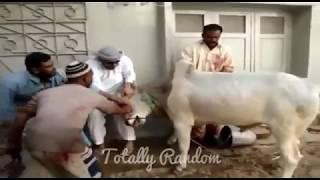 Bakra Eid Special - Eid Fails - Funny Pakistani Meme Compilations - Extreme Funny Edition xD