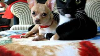 funny cat licks dog.
