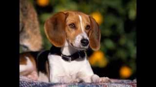 American Foxhound (dog breed HD slide show)! / Американский   фоксхаунд