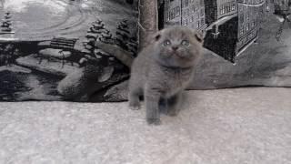 шотландские котята. Голубой вислоухий котик