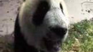 Little Giants: Pandas Make You Smile