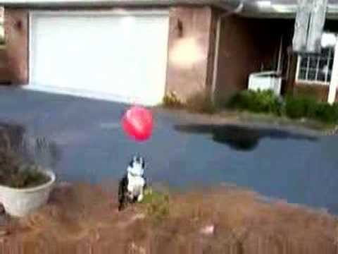 Mr. Tiny Dog the Boston Terrier and Balloon Madness!!!!