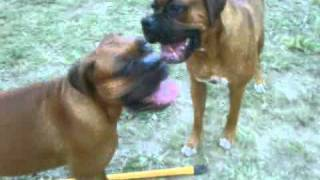 Boxer Guard Dogs