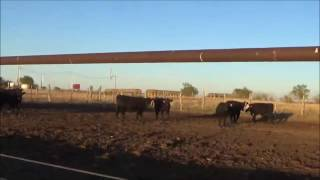 Darting calves in the feedlot october16
