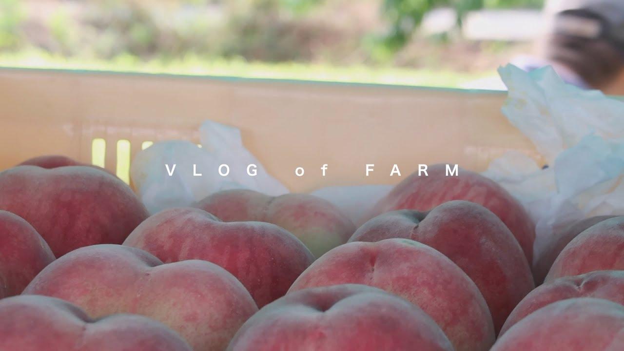 桃のはたけにて収穫を。 -興隆園-