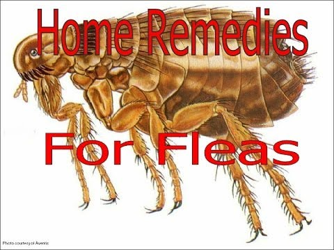 Home Remedies For Fleas In Your House Treatment For Fleas