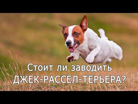 ДЖЕК-РАССЕЛ-ТЕРЬЕР. Плюсы и минусы породы